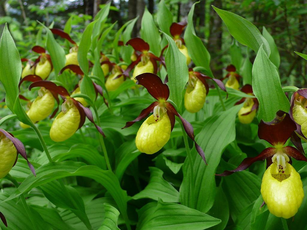 Boldogasszony Papucsa Lady's-slipper Orchid
