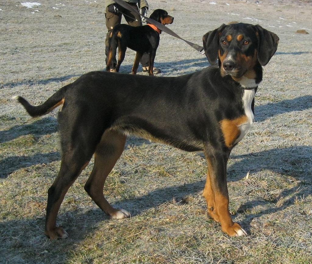 Erdélyi kopó-Transylvanian hound-dog