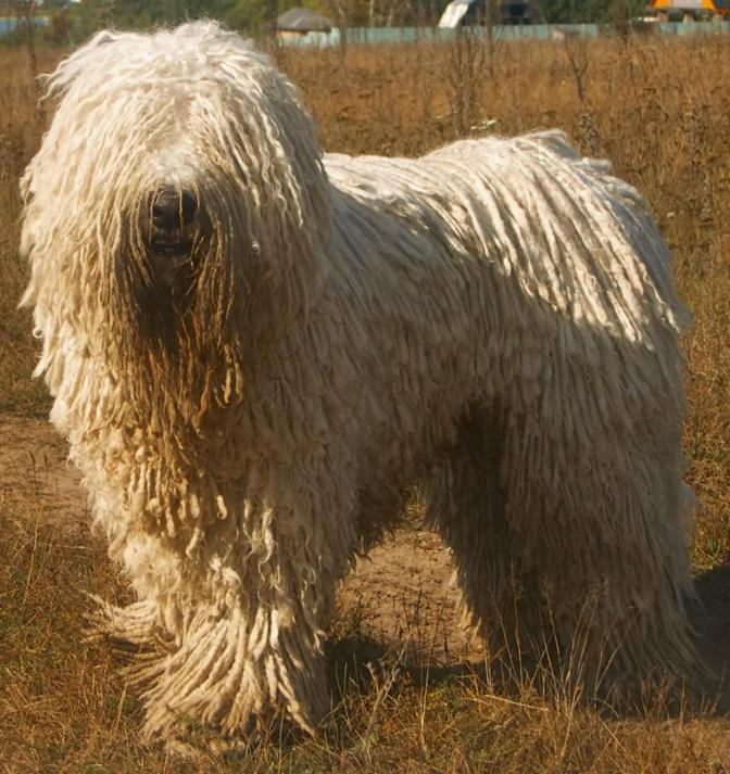 Komondor-Hungarian-dog