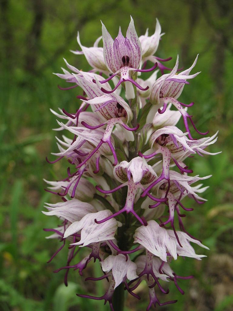 Majomkosbor - Monkey Orchid