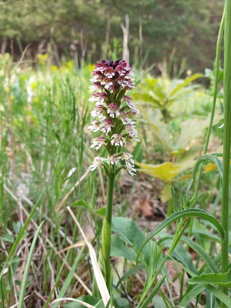 Sömrös Pettyeskosbor Orchid