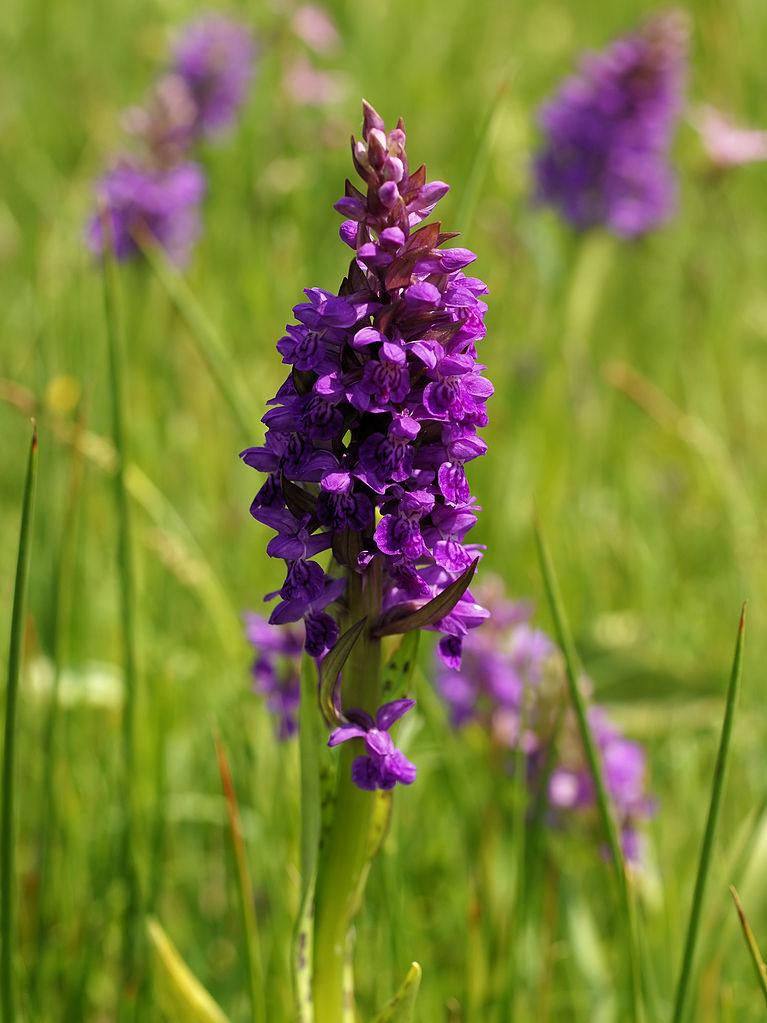 Széleslevelű Ujjaskosbor - Broad-leaved Marsh-orchid