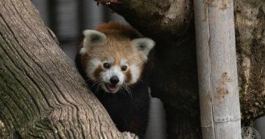 red panda debrecen zoo