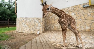 Giraffe Girl Born at Debrecen Zoo