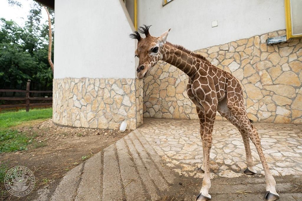 Giraffe Girl Born at Debrecen Zoo