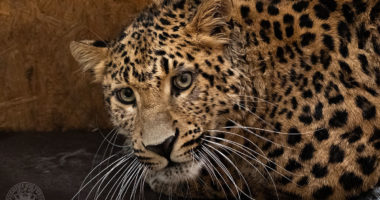 debrecen_zoo_welcomes_mighty_north_chinese_leopard