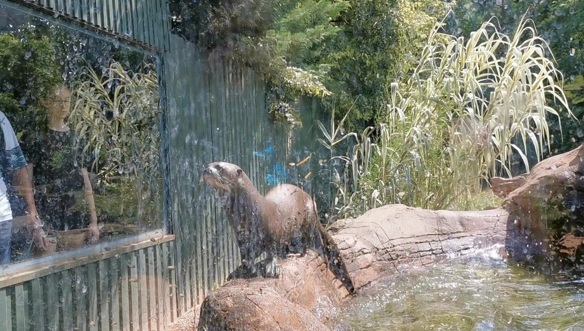 Budapest Zoo-giant river otter-animal