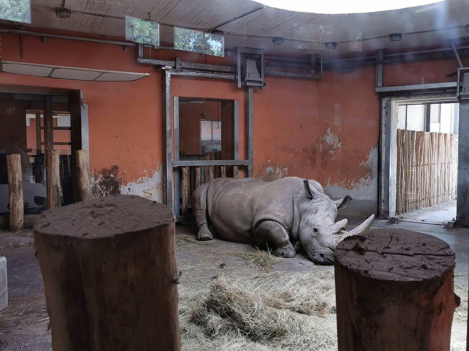 Budapest Zoo- southern white rhinoceros-animal