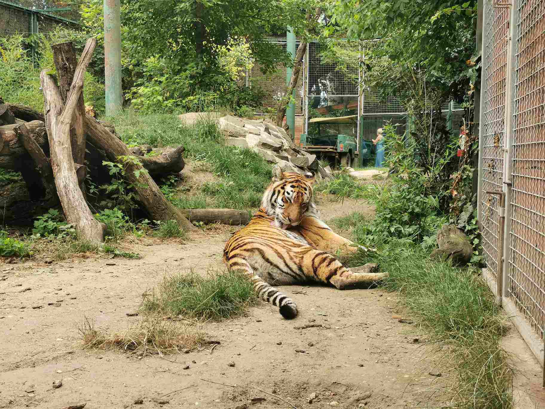Budapest zoo-amur tiger-animal