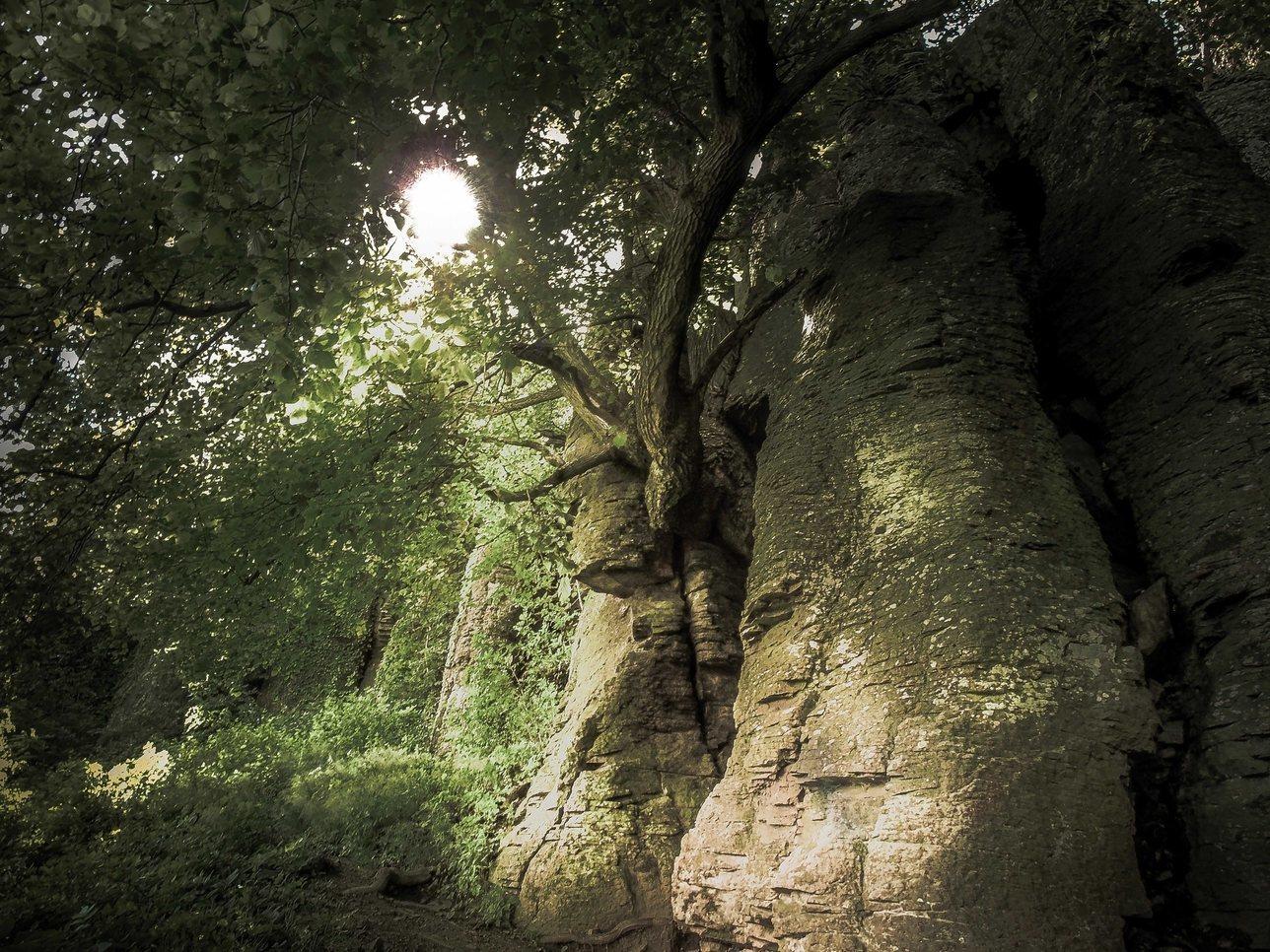 Arbre entre les colonnes de basalte Fa Bazalt Oszlop