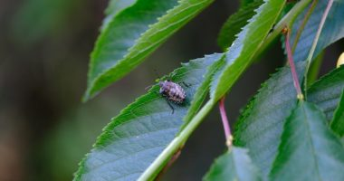 stink bug invasion hungary