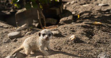 debrecen zoo baby meerkat