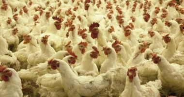 poultry-farm-chicken