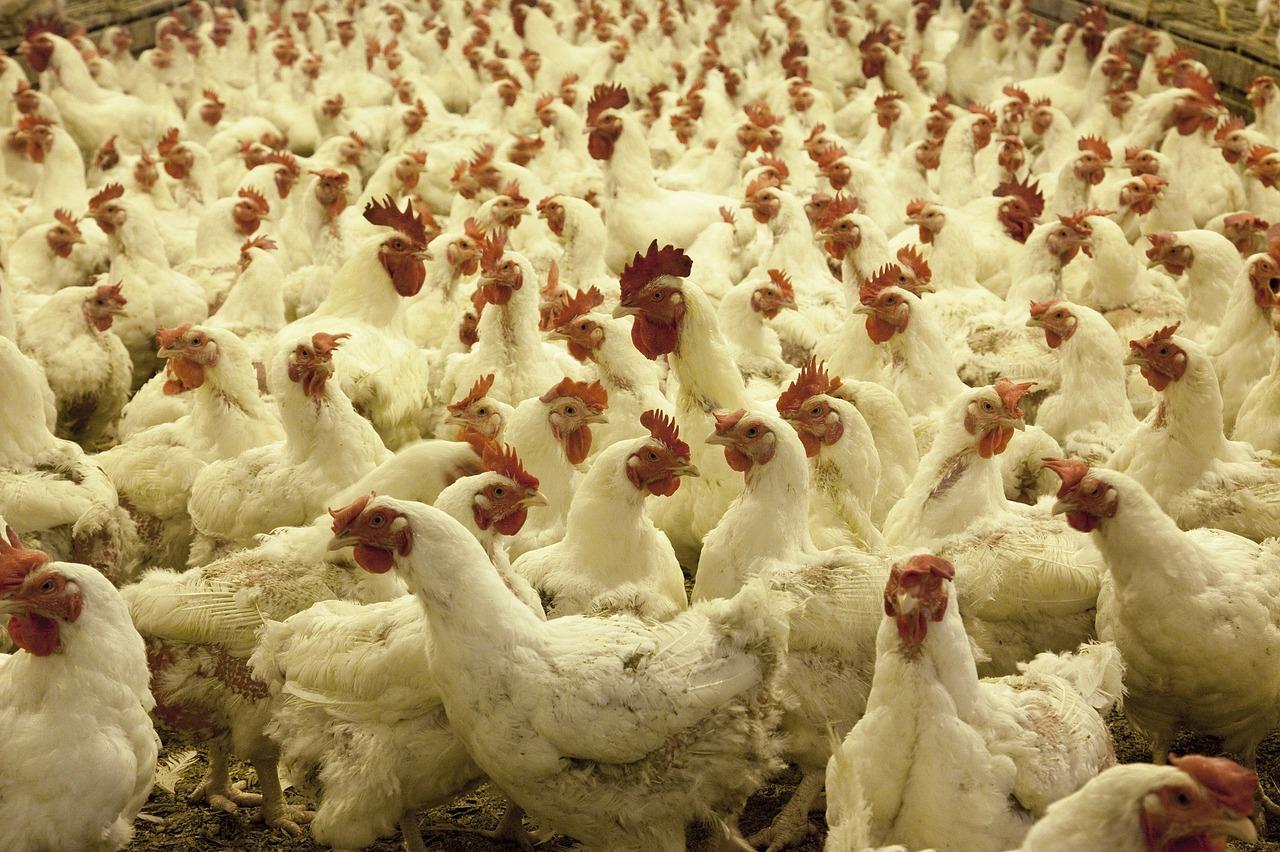 poultry-farm-chicken