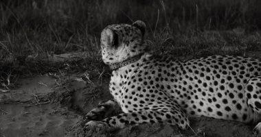 leopard fur rachel claire