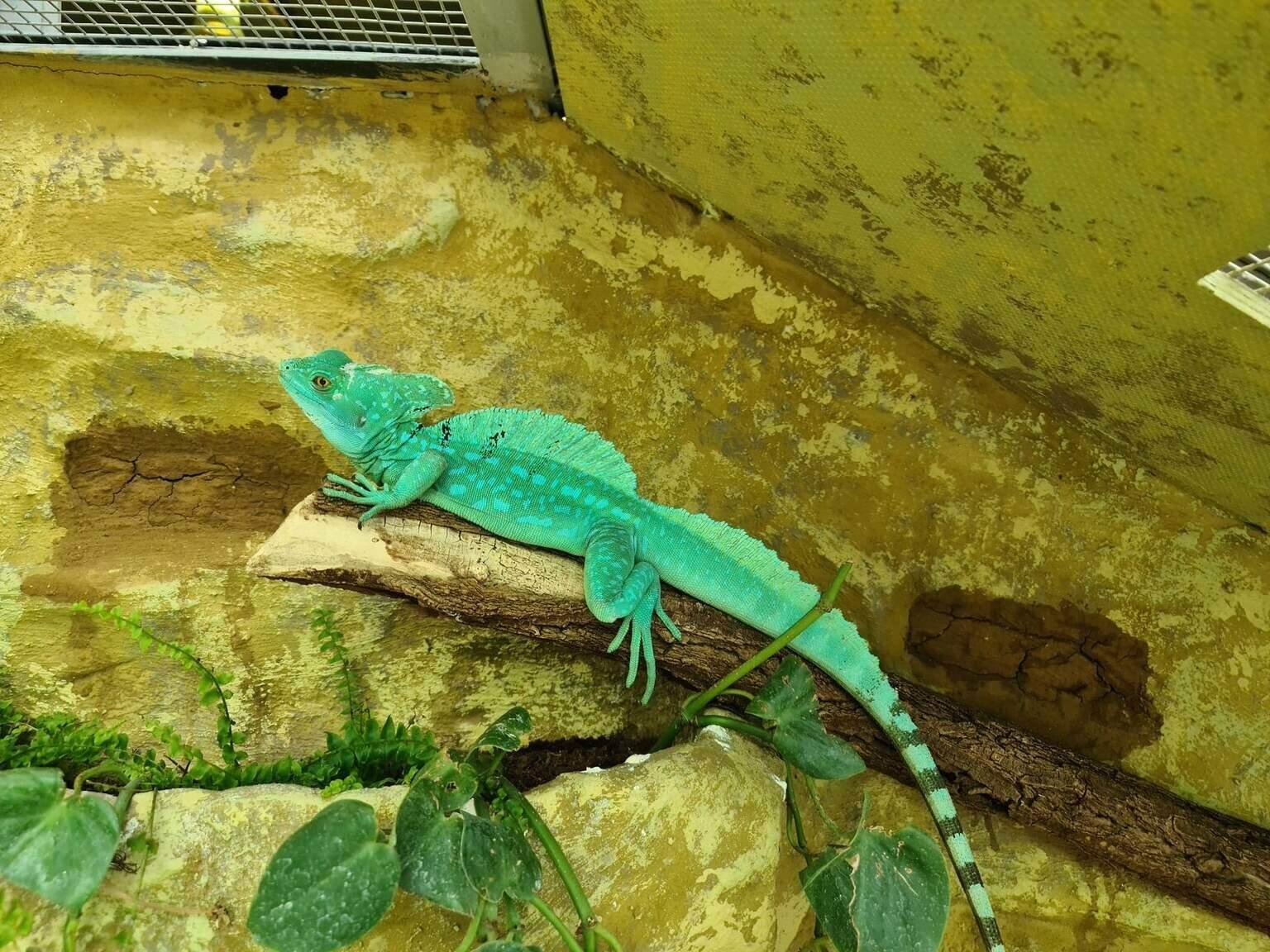 Budapest Zoo Állatkert Animal Állat Hüllő Reptile Baziliszkusz Basilisk