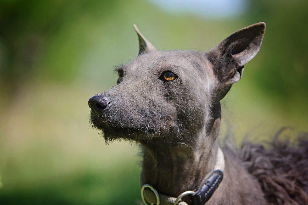 Májzli Dog Breed Kutya 6