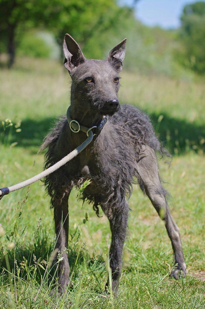 Májzli Dog Breed Kutya 7
