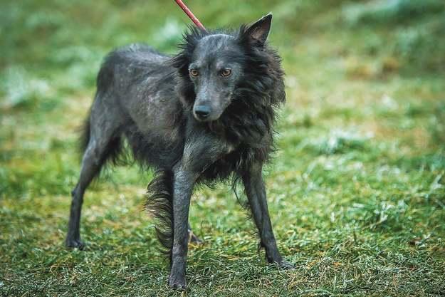 Májzli Dog Breed Kutya 8