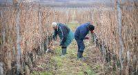 hungary wine workers