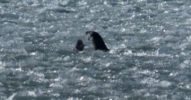 otters fight in balaton