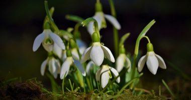 Hóvirág Snowdrops