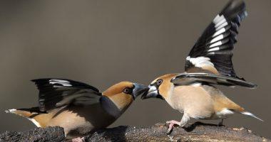Meggyvágó-Bird-Madár