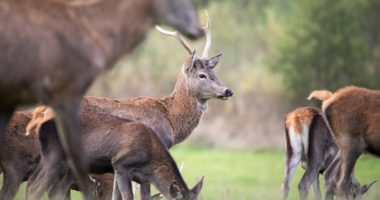 Deer Herd Őz Szarvas