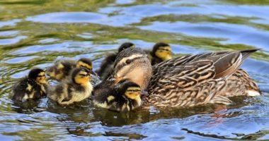 Duck Ducklings Kacsák Kiskacsa