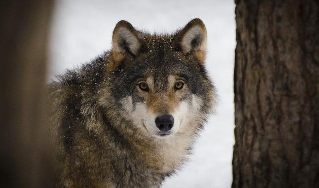 wolf-animal-forest-danger