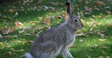 Hungary rabbit Canada