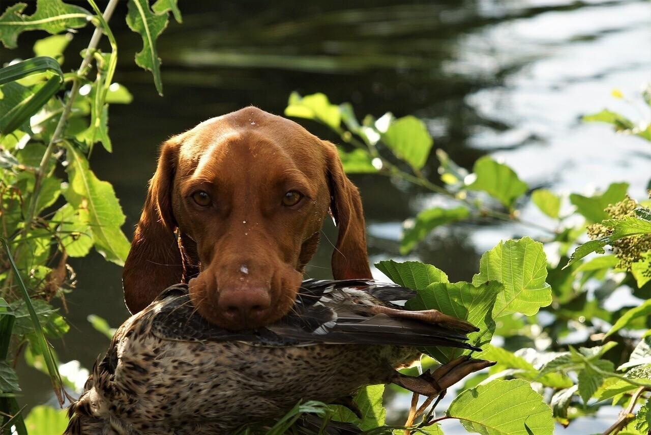 Vizsla Hungarian Dog Breed