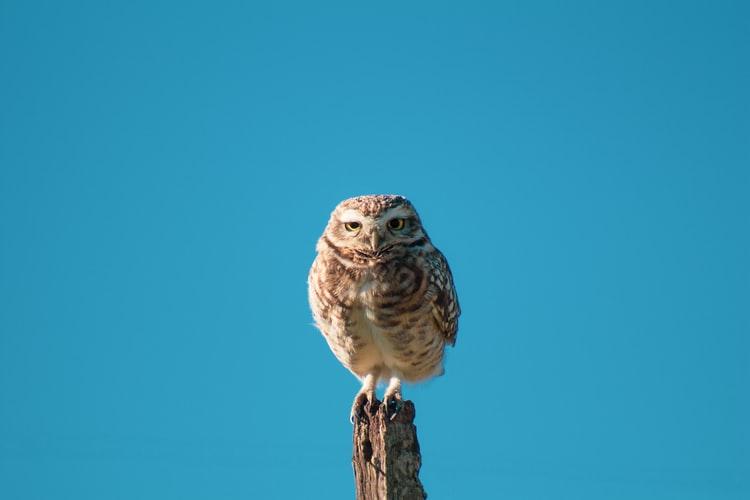 bird uhu