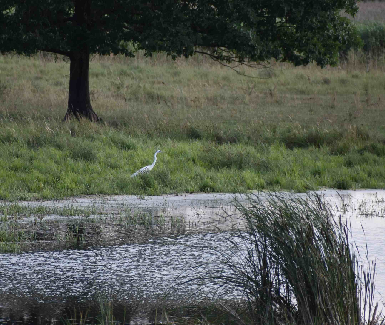 Great egret-bird-animal-Lake Fertő-Hungary