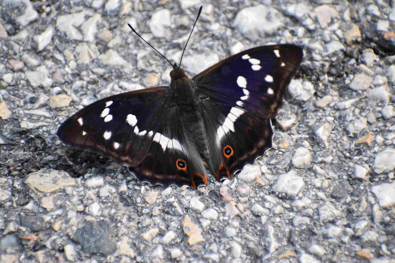 Red admiral-butterfly-animal-Fertő-Hanság National Park-Hungary